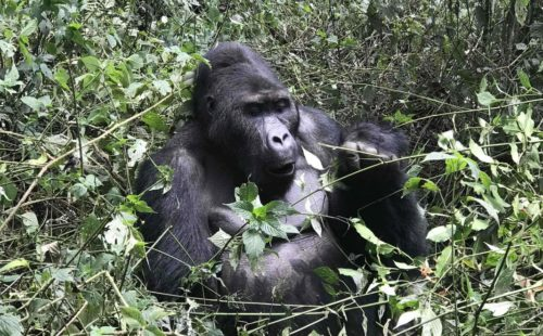 3 Days Lowland Gorilla Safari in Congo