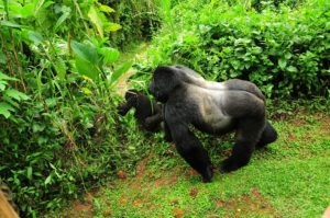 3 days Uganda Gorilla Safari Tour Bwindi Impenetrable