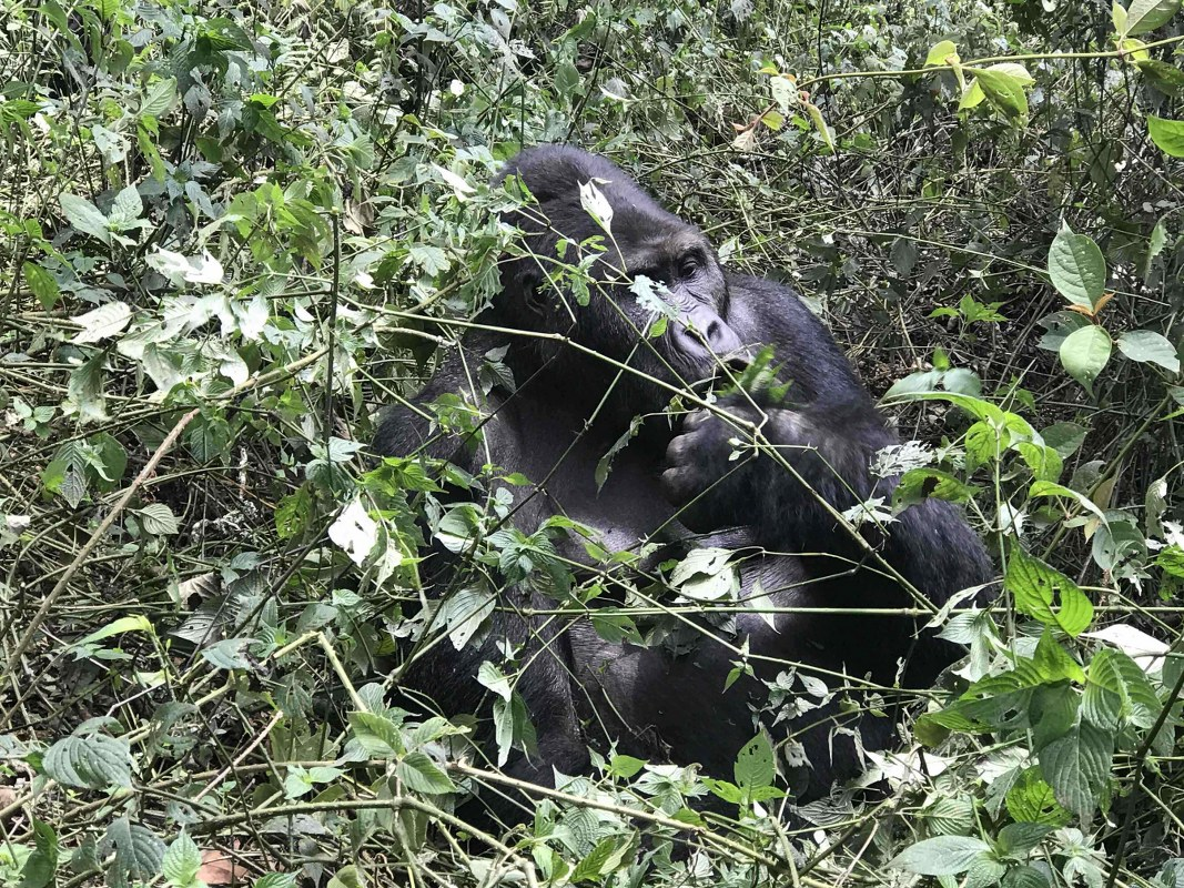 7 Days Congo Gorilla Adventure Safari