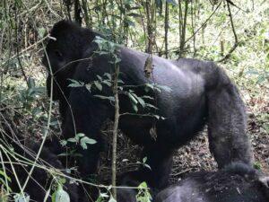 4 Days Congo Gorilla & Nyiragongo Safari