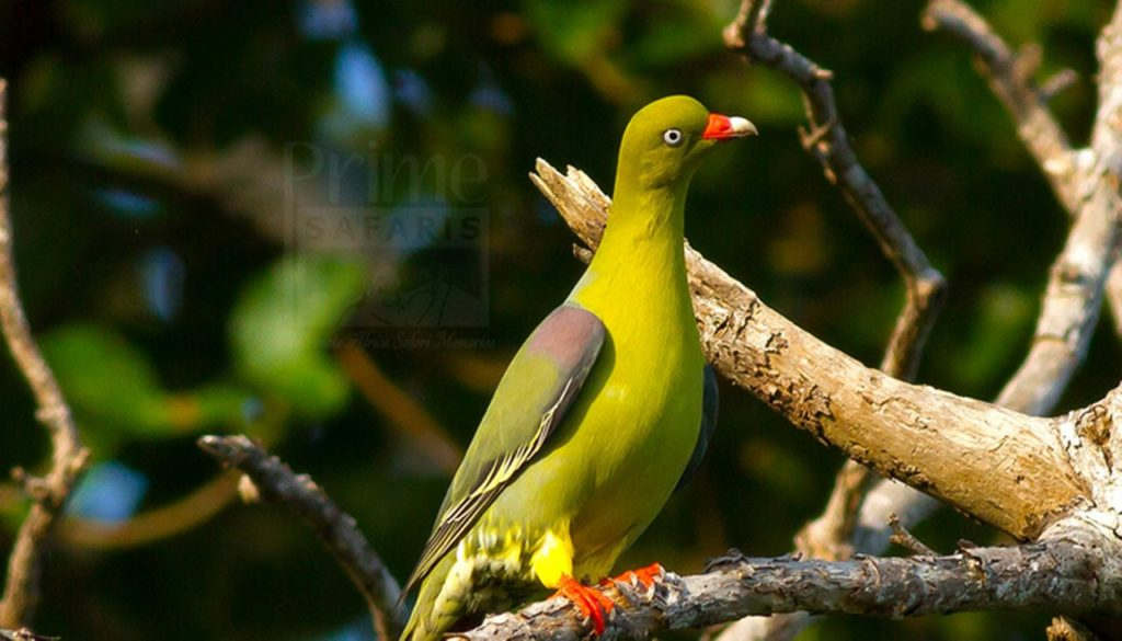 15 days Uganda Birding safari