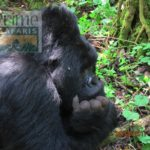 10 days Rwanda Uganda Primate Wildlife