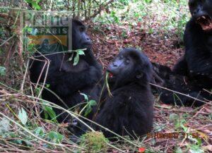 gorilla trekking safari rwanda