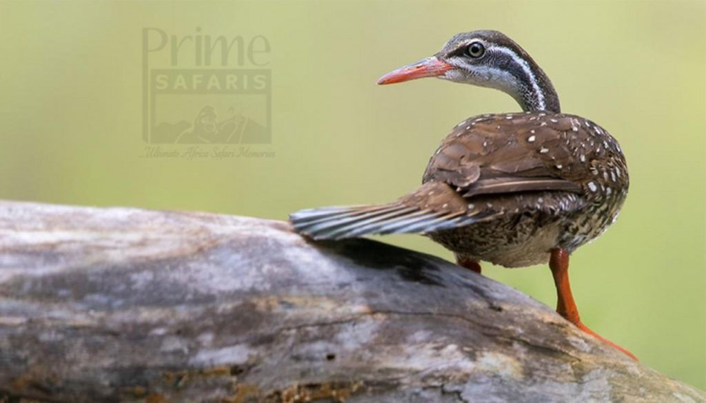 14 days Birding Uganda safari