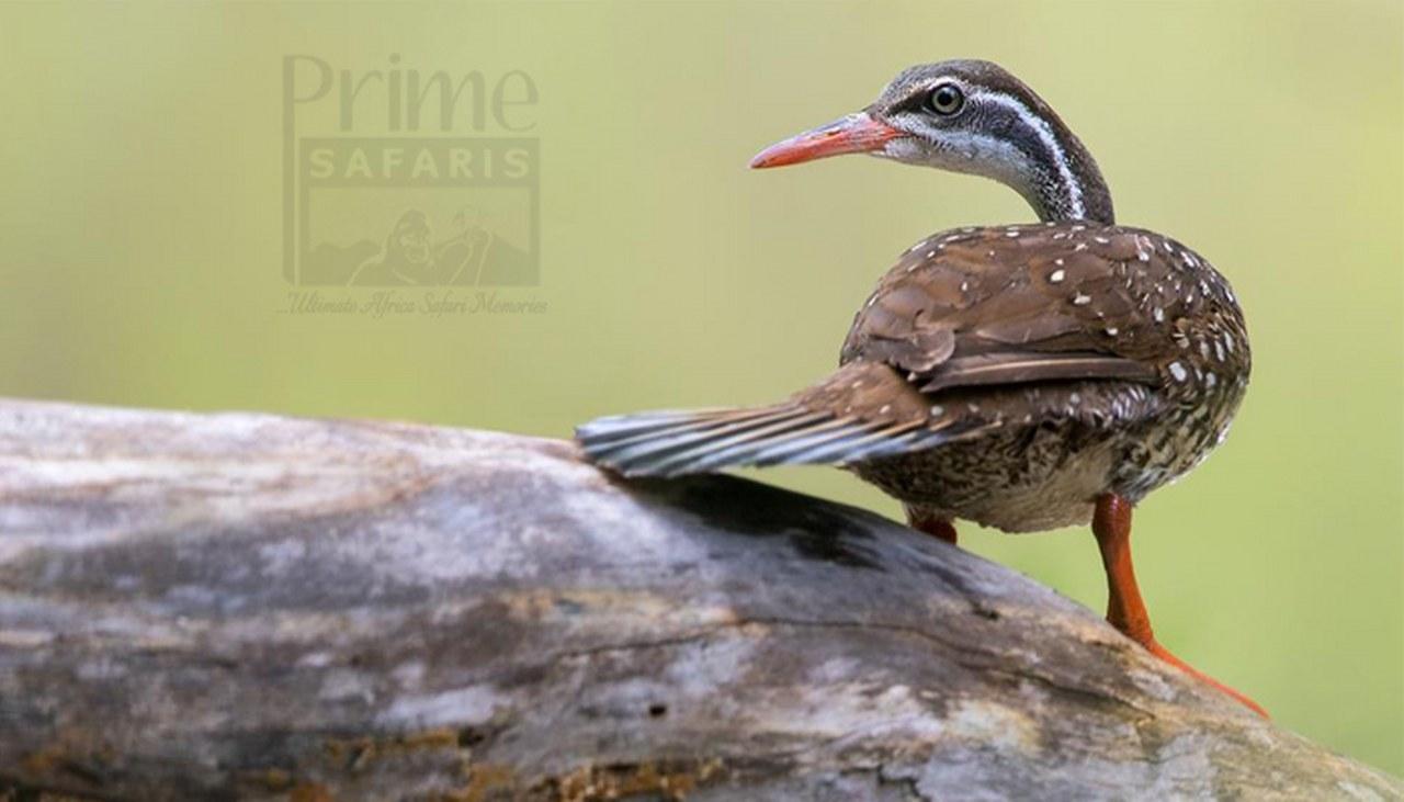 14 days Birding Uganda safari