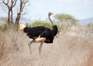 12. Ostrich in kidepo