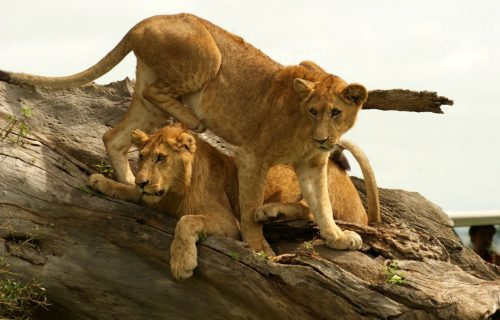 6. Lions-at-Kidepo-Valley_1195x800
