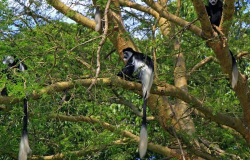 8. Black-and-white-colobus-monkeys_1280x960