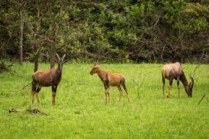 18 Days Comprehensive Uganda Safari Tour, Gorilla trekking Uganda, Chimps & Wildlife