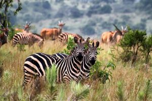 2 Days Wildlife Safari in Rwanda Akagera National Park_600x399