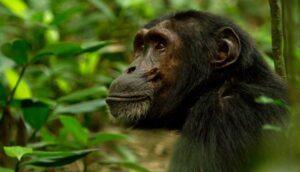 5 Days Gorilla and Chimpanzee Safari in Rwanda to Volcanoes and Nyungwe Forest National Parks_600x343