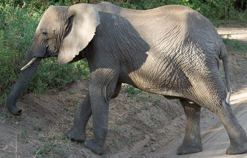 African bush elephants in Lake manyara national park