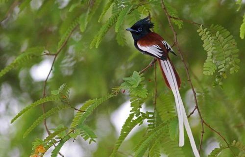 African paradise fly catcher
