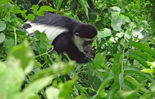 Black and white colobus monkeys in Arusha National Park Tanzania