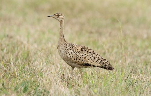 Black belled bustards