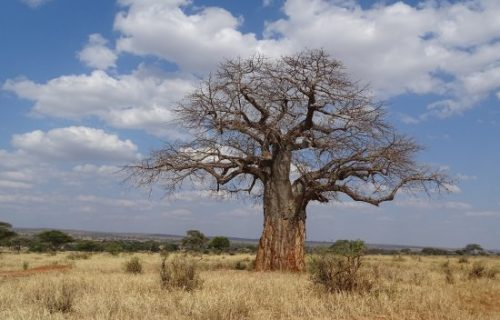 Boabab tree in Tarangire national park