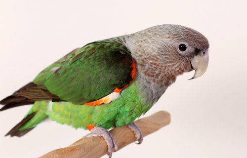 Brown necked parrot