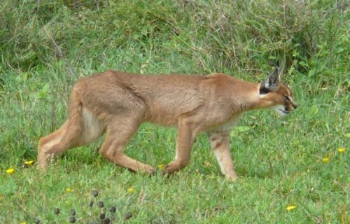 Caracal in Tarangire national park