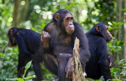 Chimpanzees in Gombe National Park