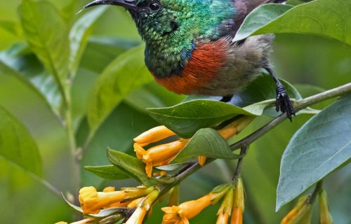 Eastern double collared sunbird