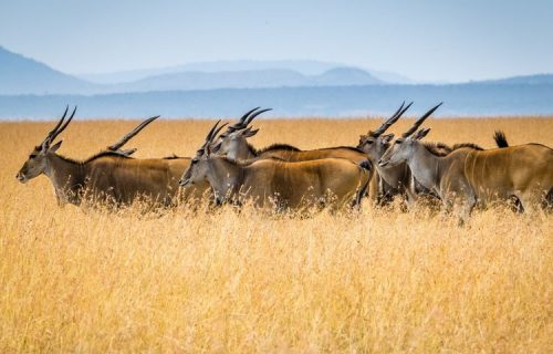 Elands in mikumi national park