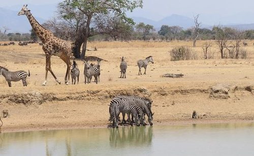 Game drives in Mikumi National Park