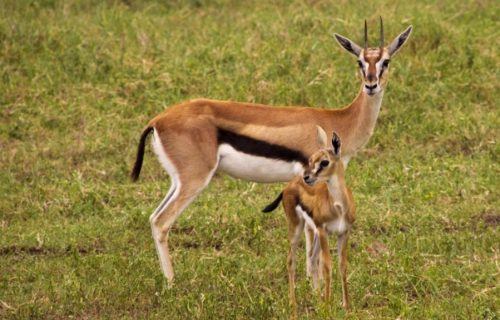 Grants gazelle in Lake manyara national park