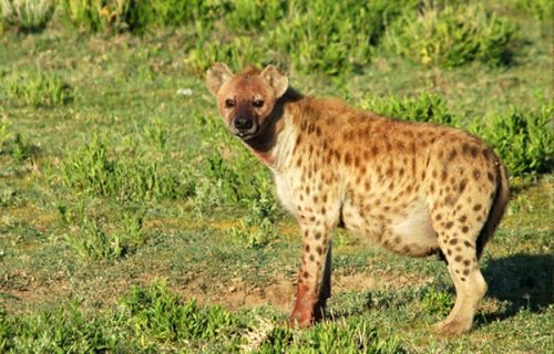 Hyenas in katavi national park tanzania