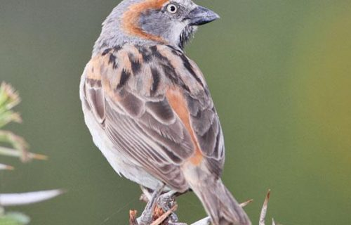 Kenya rufous sparrow in Gombe national park