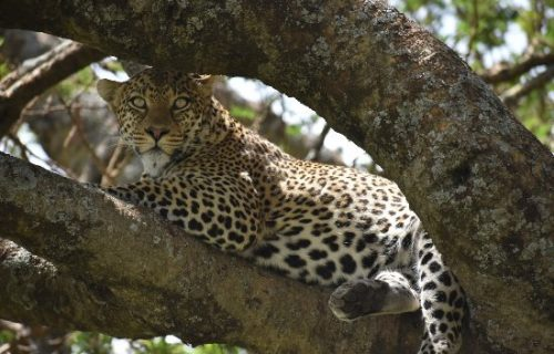 Leopards in Arusha National Park Tanzania