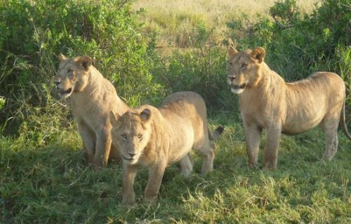 Lions in Arusha National Park Tanzania