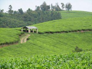 Mpanga Tea estate cycling