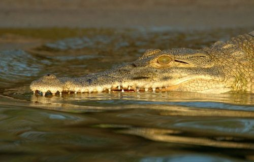 Nile crocodiles in Selous game reserve map