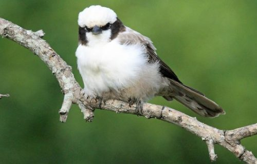 Northern white crowned shrike