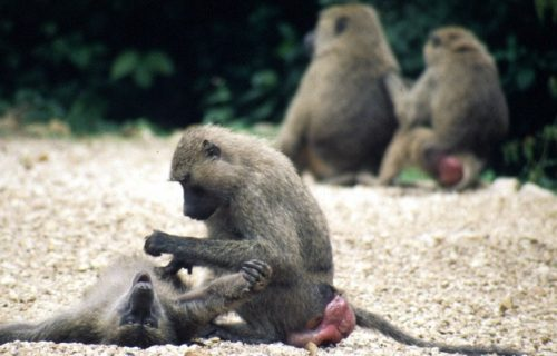 Olive baboons in Gombe National Park