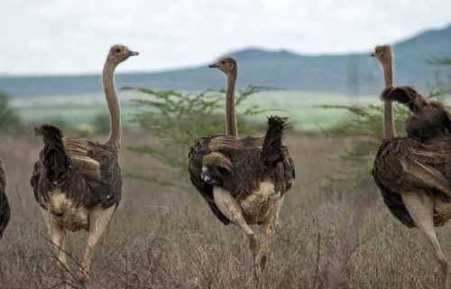 Ostriches in mkomazi national park