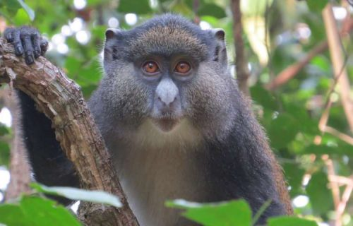 Red tailed monkeys in Gombe National Park
