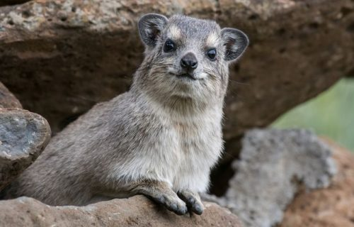 Rock hyrax in lake manyara national park