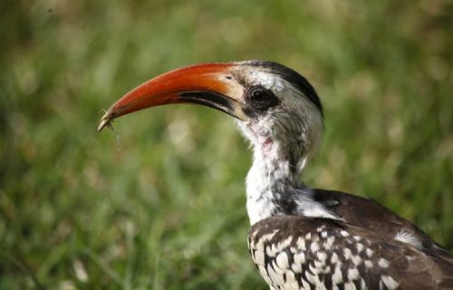 Tanzanian red billed hornbill