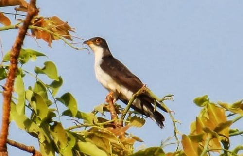 Thick billed cuckoo