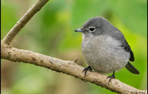 White eyed slaty flycatcher