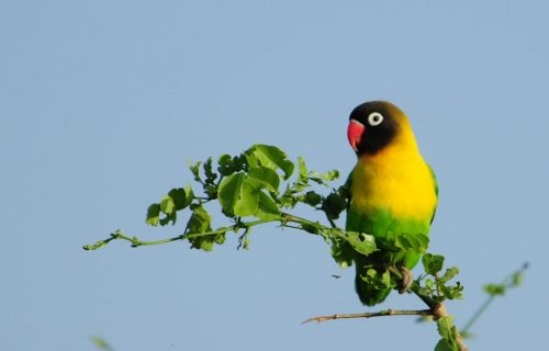 Yellow collared lovebird